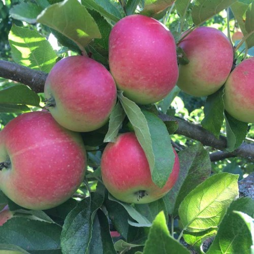 Gala Apples Trees | ScotPlants Direct
