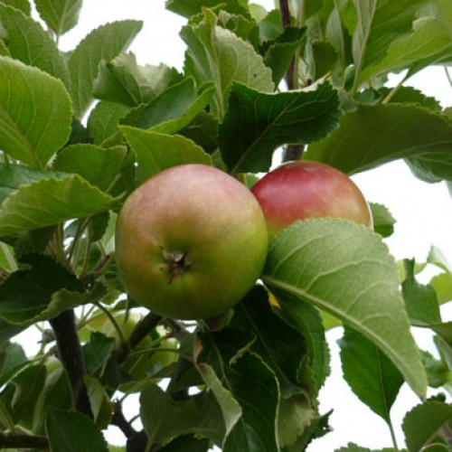 Dessert Apple James Grieve Apple Trees