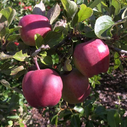 Red Delicious Apple Tree Dessert Scotplants Direct