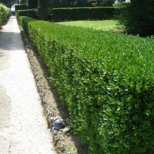 Box (Buxus) Hedging Plants