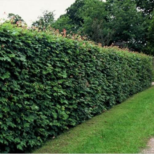 Znalezione obrazy dla zapytania Acer campestre hedge