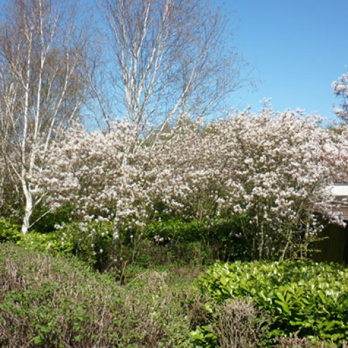 Amelanchier Canadensis | ScotPlants Direct