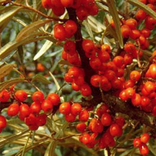 Sea Buckthorn Hedging Plants