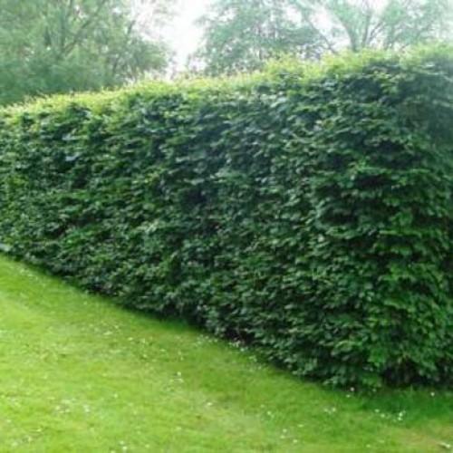 field maple acer campestre bareroot hedging scotplants. Black Bedroom Furniture Sets. Home Design Ideas