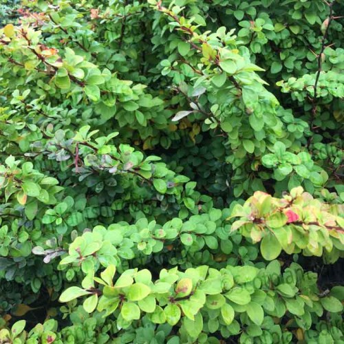 Green Hedging Plants