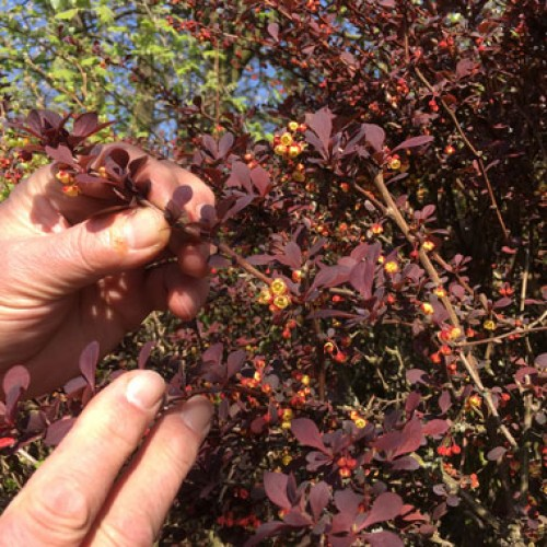 Purple Berberis Hedging