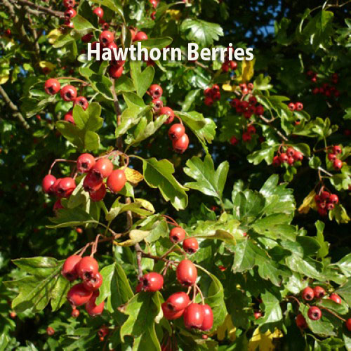 Hawthorn (Quickthorn) Hedge Plants