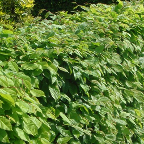 Hornbeam Hedge Plants