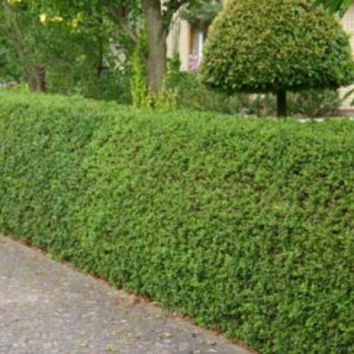 Green Privet Hedging Plants