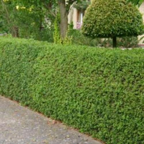 ligustrum ovalifolium green privet 60 90cm bareroot. Black Bedroom Furniture Sets. Home Design Ideas
