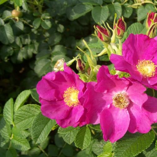 Rosa Rugosa Wild Rose Bareroot Hedging 40 60cm