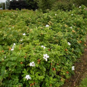 Edible and Wildlife Hedging Mix