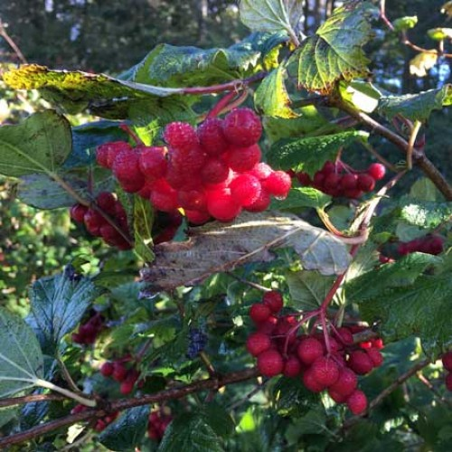 Crab Apple Plants