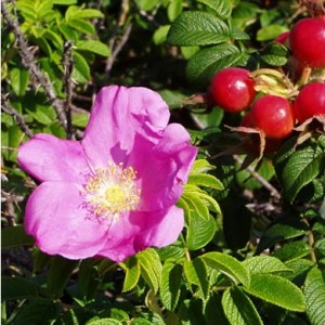 Rosa Rugosa Hedge
