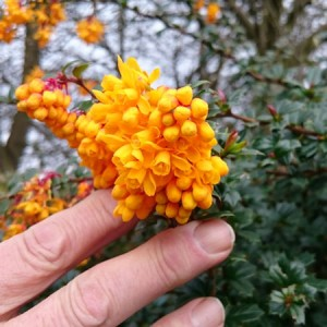 Berberis Darwinii Hedging Plants | ScotPlantsDirect
