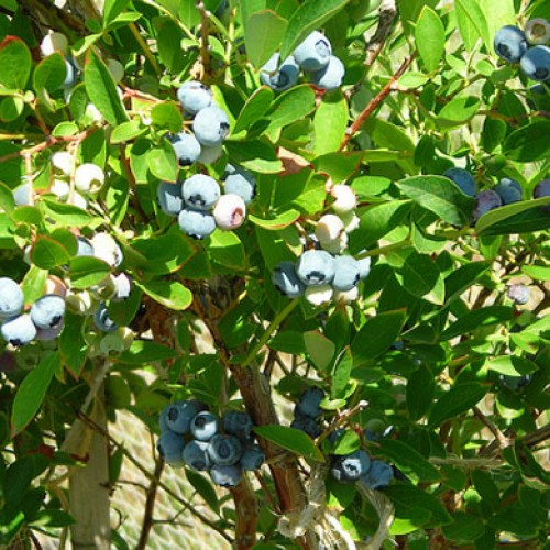 Blueberry Plant Chandler