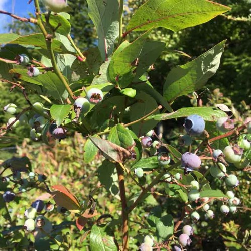 Blueberry Jersey Plants