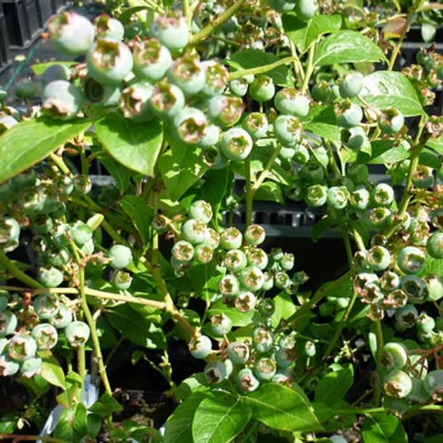 Blueberry Bush Top Hat | ScotPlants Direct