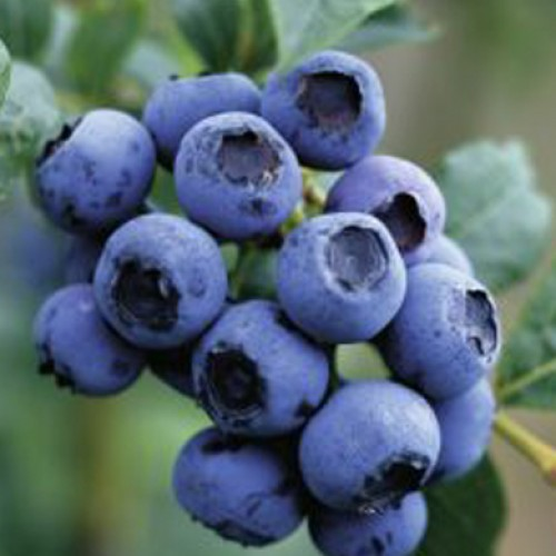 Blueberry Ozark Blue | ScotPlants Direct