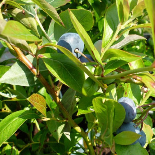 Blueberry Plant Goldtraube23