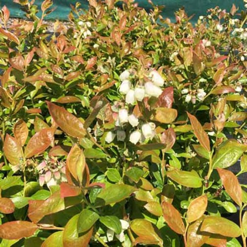 Blueberry Plant Seasons Mix | ScotPlants Direct