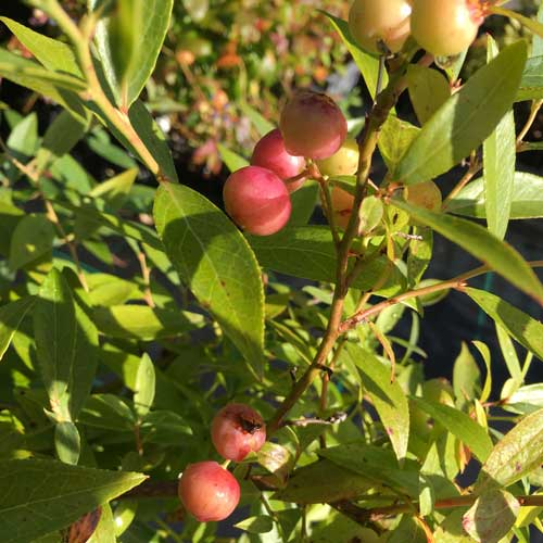 Blueberry Sunshine Blue Bushes | ScotPlants Direct