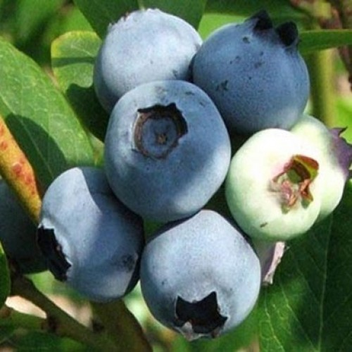 Blueberry Berkeley Bushes | ScotPlants Direct