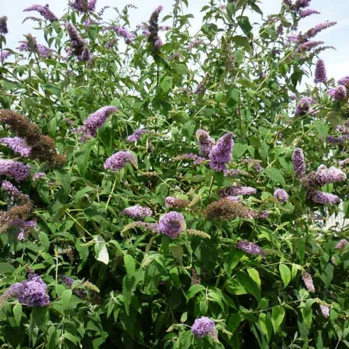 Buddleja Royal Red Butterfly Bush