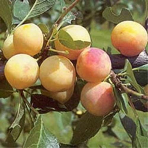 Mirabelle de nancy plum fruit tree scotplants direct - Prunier mirabelle de nancy ...