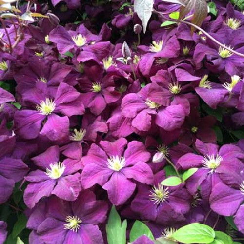 Clematis Fragrant Spring | ScotPlants Direct