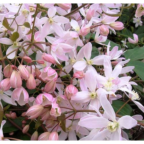 Clematis armandii Apple Blossom | ScotPlants Direct