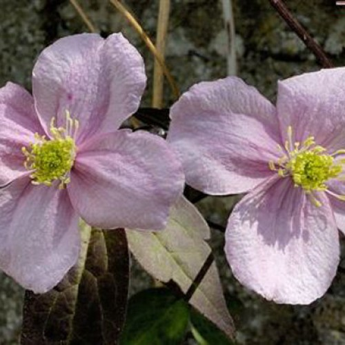 Clematis montana Alba | ScotPlants Direct
