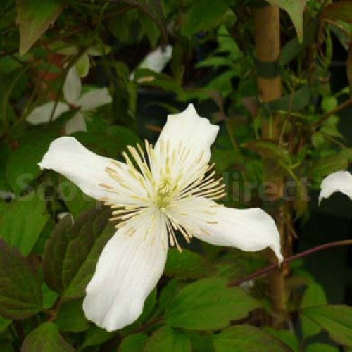 Actinidia Kolomikta | ScotPlants Direct