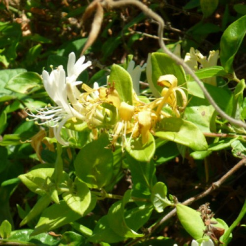 Lonicera japonica Halls Prolific Honeysuckle