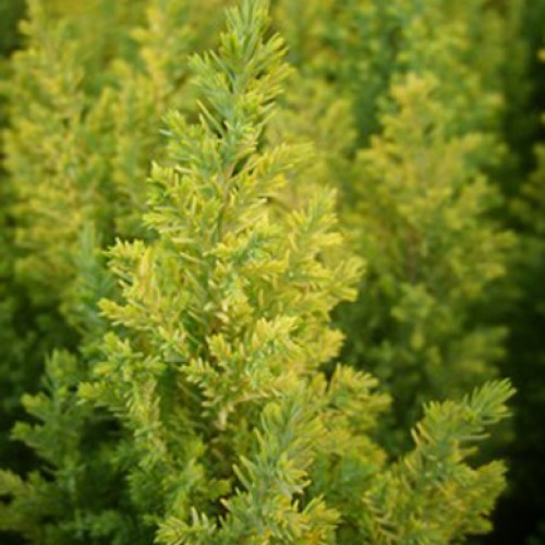 Conifer Thuja occidentalis Golden Tuffet