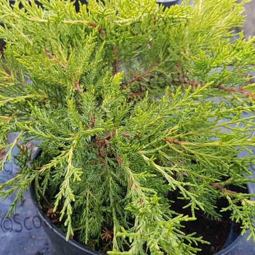 Conifer Juniperus x media Old Gold