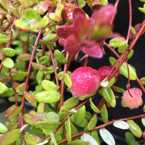 Cranberry Vaccinium Early Black