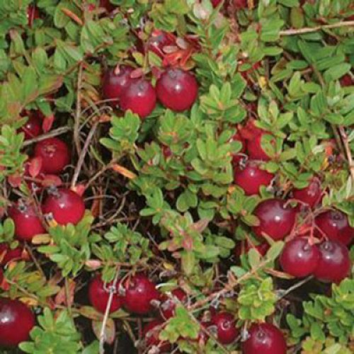 Cranberry Pilgrim | ScotPlantsDirect