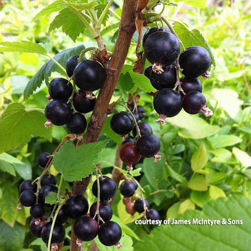 Ben Tirran Black Currant Bush