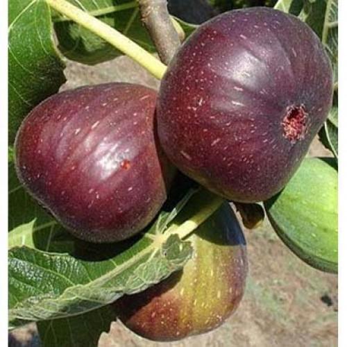 Fig Trees Uk Fruit Supplier Scotplants Direct