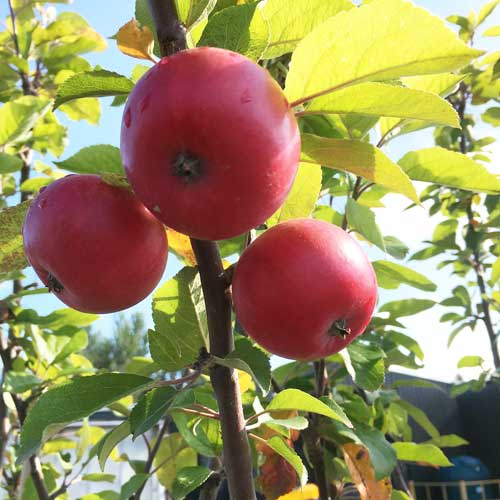 Apple Discovery Tree | ScotPlants Direct