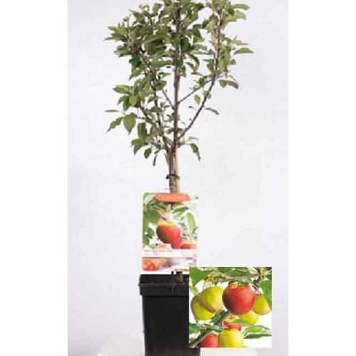 Dual Apple Golden Delicious + Elstar Tree Patio| ScotPlants Direct