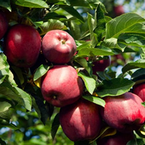 Red Delicious Apple Tree Dessert | ScotPlants Direct