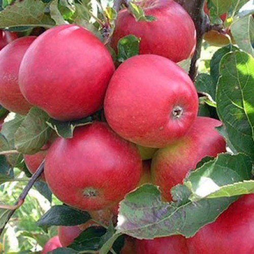 Spartan Apple Tree | ScotPlants Direct