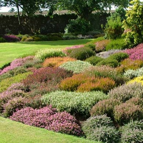 Scottish mixed heathers 1 litre pot grown scotplants direct for Garden trees scotland