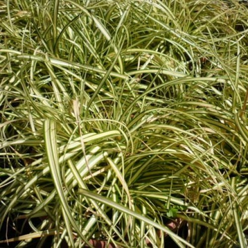 Black Grass Ophiopogon