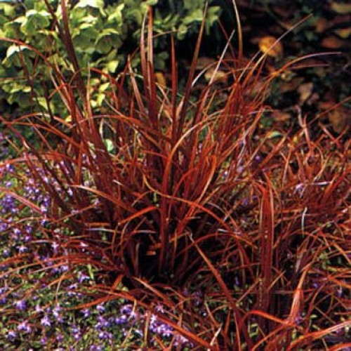 Ornamental grass uncinia rubra red hook sedge for Red ornamental grass