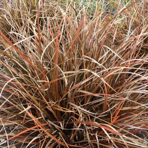 Ornamental grasses scotplants direct for Perennial grasses red