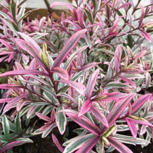 Hebe Heartbreaker | ScotPlants Direct