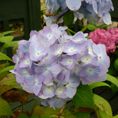 Hydrangea Incrediball | ScotPlants Direct